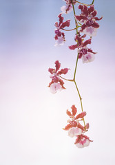Red orchid on soft background (jack-sooksan) Tags: sweet orchid pink romantic soft warm cool cold relax flower flora floral red star magenta violet branch tree nature plant sun sunrise sunset sunlight ray bright garden sky leaf petal botany bloom blossom stalk foliage background ornament decoration hang