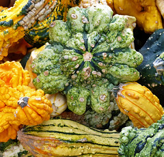 Gourds, oh my. (sharon'soutlook) Tags: gourds plant ornamental colors fall variety yellow green warty bumpy