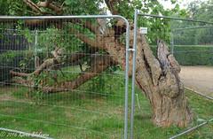 Caversham Court mulberry tree (karenblakeman) Tags: caversham uk cavershamcourtgardens mulberrytree 2016 september