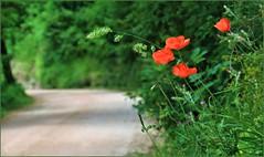 En Mi Camino / On My Way (Konny D.) Tags: poppys mohnblumen papaveri coquelicots amapolas papoilas