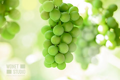 Grapes in the sun (WDnet) Tags: grapes green grape vine white vineyard plant wine agriculture nature harvest food bunch grapevine leaf autumn fruit ripe winery summer background branch fresh healthy natural farm garden closeup sweet tree sunny growth season growing sunlight juicy bokeh sun d750