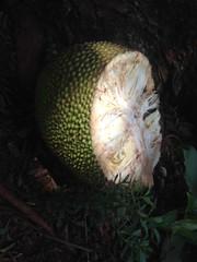 Jackfruit (kenya saijiki) Tags: uganda jackfruit fruit half