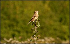 Whinchat (Saxicola rubetra) (postman.pete) Tags: whinchat bird migrant perch apricot fly blue bottle hedgehog meadow brown canon lumix