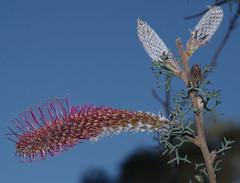 Grevillea paradoxa, Kings Park, Perth, WA, 16/08/16 (Russell Cumming) Tags: plant grevillea grevilleaparadoxa proteaceae kingspark perth westernaustralia