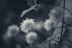 Die Frisur sitzt / good hair day (Bilderwense) Tags: blackandwhite blancoynegro noiretblanc bw sw bnw monochrom monochrome mono nikkor 50mm f18 nikon d5000 schwarzweis germany norddeutschland deutschland europe europa einfarbig nikond5000 50mmf18 outdoor blume pflanze flower plant schärfentiefe bokeh dof depthoffield tiefenunschärfe unschärfe shadow sombre dark dunkel moody