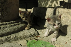 Balchik - Kittens in the Dvoretsa (lyura183) Tags: bulgaria  balchik  cat kitten