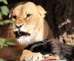 African lion artis JN6A0438 (j.a.kok) Tags: artis leeuw lion afrikaanseleeuw africanlion caesar ooievaar storch pantheraleoleo