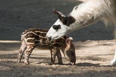 Zuid-Amerikaanse Tapir,Jong (Nick Dijkstra) Tags: artis jong laaglandtapir southamericantapir tapirusterrestris zuidamerikaansetapir