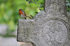 Robin, Brompton Cemetery, London (Richard Wintle) Tags: robin bird passerine europeanrobin redbreast cross grave gravestone headstone tombstone graveyard cemetery brompton uk london england