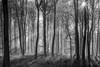 Winter Woods (CeriDJones) Tags: woods woodland forest trees trunks winter bw mist morning