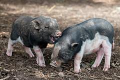 Kau mir nicht das Ohr ab:-) (Saarblitz) Tags: schweinchen schweine frischlinge tiere lustig ohr kauen schmunzeln lachen freude outdoor