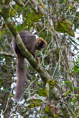 Red-fronted lemur (Eulemur rufifrons) (65north) Tags: africa sweden wildlife lemur madagascar lulea ranomafana lule redfrontedlemur leifjonsson eulemurrufifrons leifjnsson madagaskar2012ranomafana chameleonmadagaskar2012ranomafana