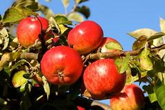 Apples (Aperture111-Thanks for 1000000+ views) Tags: nature zeiss sony natureza natur za variosonnar16803545za variosonnartdt35451680 sonyslta65v slta65v sonyalpha65 slt65v me2youphotographylevel1