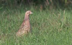 Faisan de colchide (F) IMG_7886 (6franc6) Tags: 30 oiseau gard camargue balade ornithologie 6franc6