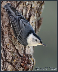 White-breasted Nuthatch (ctofcsco) Tags: coloradosprings colorado unitedstates usa explore canon 1div 300mm allofnatureswildlifelevel1 allofnatureswildlifelevel2 allofnatureswildlifelevel3 allofnatureswildlifelevel4 bird nature wildlife springs united states co 1d mark iv ef f28 l is usm ef300mm canonef300mmf28lisusm f28l 28l america northamerica telephoto bokeh eos1d eos1dmarkiv eos 4 mark4 best wonderful perfect fabulous great photo pic picture image photograph