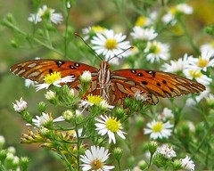 Gulf fritillary in white asters (Vicki's Nature) Tags: orange canon butterfly georgia eating peekaboo ngc spots npc wildflowers asters fritillary s5 biello gulffritillary gamewinner 1045 faves20 vickisnature beautifulworldchallenges touchofwhite readygm cfshallowdof bwcgfavethings