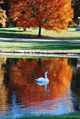 137e autumn glide (jjjj56cp) Tags: autumn orange lake reflection fall nature birds swimming swan peace cincinnati peaceful aves serenity oh ripples glide springgrove thegalaxy mygearandme blinkagain rememberthatmomentlevel1 jennypansing