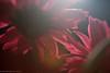 light shines through (doctian) Tags: flowers macro canon eos philippines 100mm cebu filipino 5d dslr f28 ef pinoy gettyimages pcc fpc mki imag cebusugbo filipinophotographer flickraward doctian pinoykodakero litratongpinoy garbongbisaya flickrpinoy mygearandme