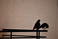 Bonus. (Anant N S) Tags: india bird photography nikkor crows pune 55200 birdphotography amurderofcrows project365 nikond3000 lensor anantns thelensor anantnathsharma crowsmakinglove