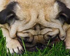 Nap time (Scott Duffus) Tags: pug