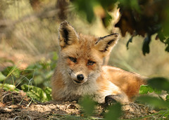 Sleepy red fox vixen (Wouter's Wildlife Photography) Tags: nature animal mammal wildlife ngc npc predator vixen vos redfox vulpesvulpes roofdier westduinpark mygearandme mygearandmepremium mygearandmebronze mygearandmesilver mygearandmegold mygearandmeplatinum mygearandmediamond