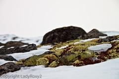 Lichen on snow (LadyRoxy2) Tags: winter snow ice nature colors norway canon landscape europe couleurs hiver lichen neige paysage glace norvge finse 500d hardangerjokulen