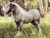 Ymir (Equourum OOAK) (customlovers) Tags: horse model arabic pony arab arabian clydesdale draught equorum