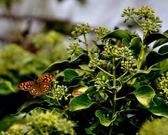 Mariposa (enrique1959 -) Tags: espaa mariposa burgos quincoces saariysqualitypictures silverawardlostcontperdidos goldenawardlostcontperdidos silverlostcontperdidos
