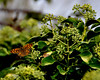 Mariposa (enrique1959 -) Tags: españa mariposa burgos quincoces saariysqualitypictures silverawardlostcontperdidos goldenawardlostcontperdidos silverlostcontperdidos