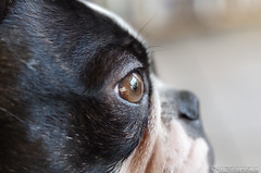 Eye of a Boston Terrier 31.10.2012