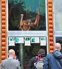 Primate Watching (SkerryLight) Tags: watching dorset monkeyworld oranutan primates lingga monkeyworldaperescuecentre jimcronin alisoncronin