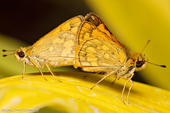 Skippers for the New Year (giovzaid85) Tags: hairy macro nature animals yellow butterfly garden insect flying asia philippines skipper 100mm mating cavite hesperiidae