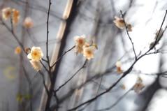Plum   (MelindaChan ^..^) Tags: winter white plant flower tree green branch bokeh mel trunk melinda macau  makinon hbw reflexlens   300mmf56 chanmelmel
