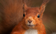 Cheeky Face! (Explored) (S Hutchinson) Tags: red mammal squirrel native northumberland british local tufty