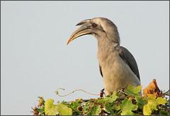 Indian Grey Hornbill (with Blister Beetle) (....Nishant Shah....) Tags: india bird nature nikon wildlife hornbill rajasthan bharatpur 300mmf28 keoladeo ocycerosbirostris tc17 indiangreyhornbill nikond90 kgnp