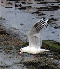 Lunch (SammyBlot) Tags: sea wild bird bread lunch sussex bosham gull feed sammyblot creativephotocafe