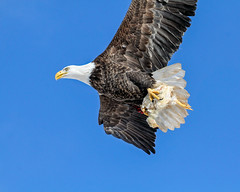 Super Bowl Sunday..who wants wings?  I'll have the whole chicken! (Nancy Rose) Tags: flying novascotia flight soaring americanbaldeagle 9497 sheffieldmills eaglewatch canon100400is