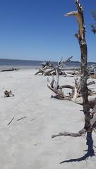 The Main Attraction, Jekyll Island, GA - IMGP4627 (catchesthelight) Tags: driftwoodbeach georgiasmostcompellingbeaches jekyllislandga barrierisland oneofthemostinterestingshorelines whitesand oaktrees driftwood gnarly naturalgraveyard preservation beauty