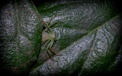 Poecilothomisus sp. nova (dustaway) Tags: nature rainforest australia nsw arthropoda crabspider rotarypark arachnida lismore araneae araneomorphae thomisidae australianspiders northernrivers spideronleaf thomisinae poecilothomisus