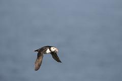 _MG_1595.jpg (helmutfaugel) Tags: schottland fairisle grosbritannien europa vogel 2016 shetland papageientaucher orte