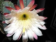 In una notte d'Agosto (Paolo Bonassin) Tags: flowers cactaceae cactacee cactus succulente cereus cereusperuvianus