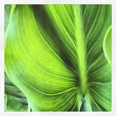Leaf from a calla lily (VillaRhapsody) Tags: leaf green lily callalily