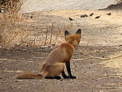 Snack ?   red fox (timber1212) Tags: coyote hills fremont redfox ca cornivore ebparksok
