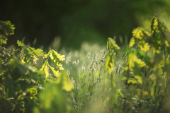 Closing in (Tammy Schild) Tags: grass leaves green spring field nature helios 402