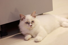 20160809-031 (Snowy Olaf) Tags: kitten britishlonghair       feliscatus  canon 5dmarkiii ef100400mm4556lis f4556