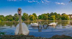 hello please do me a pic (http://www.grazynabudzenphotography.co.uk/) Tags: roath park cardiff hdr landscape seascape landscapeseascape swan southwales south wales outdor beauty pond flickr animals grazynaphotography nikon d5200