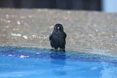 What you looking at? (Ballatonic) Tags: bird pool ave pajaro piscina venezuela higuerote miranda fauna black canon funny animal fun foto photography naturaleza nature
