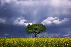 The Luminous Landscape XXVIII. (Zsolt Zsigmond) Tags: sky tree rapeseed canola field spring yellow