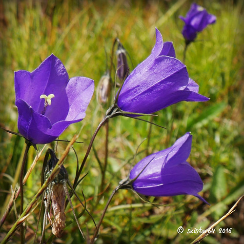 Alpenglockenblume - campanula alpina