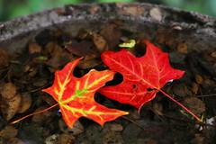 Taking a Bath (08 27 2016) (PhotoDocGVSU) Tags: fall autumn fall2016 leaves maple fallcolor canon5d3 50mmf14 westmichigan
